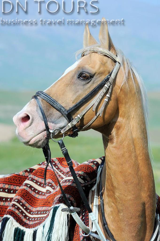 Ахалтекинец, Туркменистан (14)
