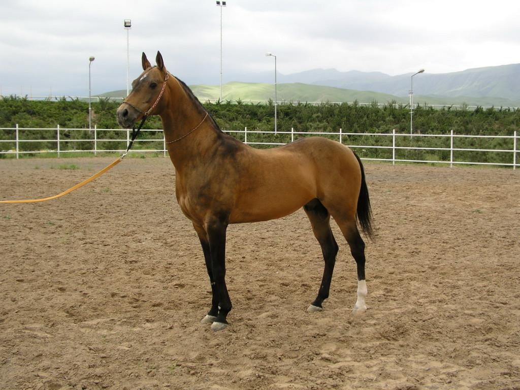 Ахалтекинец, Туркменистан