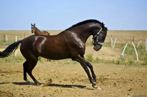 Ahal Teke Horse, Turkmenistan (2)