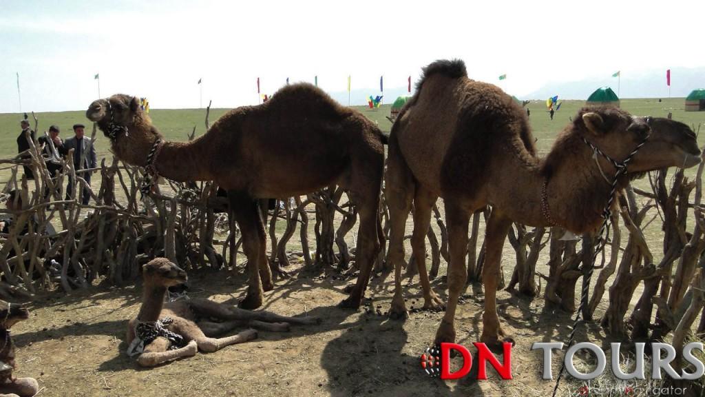 верблюды в деревне Кекирдек Туркменистан