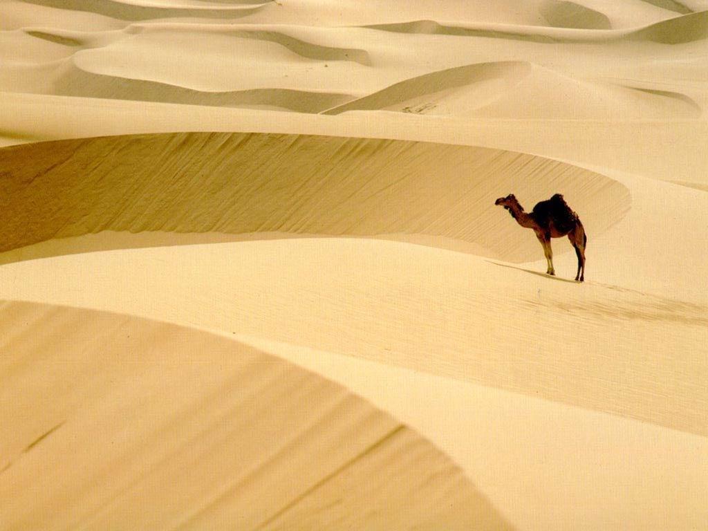 верблюд посреди барханов Каракум