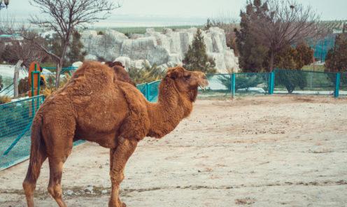 Зоопарк Ашхабада верблюд