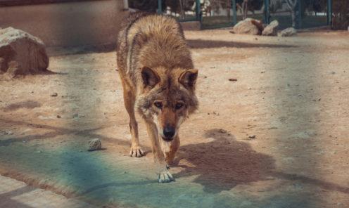 Зоопарк Ашхабада волк