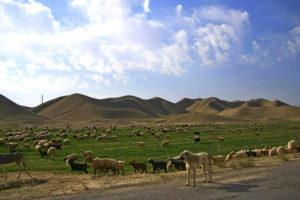 стадо баранов возле Дехистана